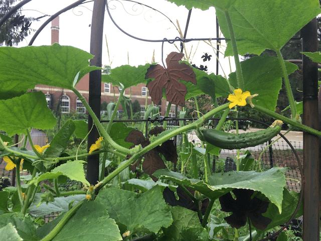 Hanna Perkins community garden